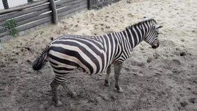 Zebras no jardim zool?gico de Budapest vídeos de arquivo