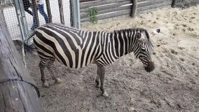 Zebras no jardim zool?gico de Budapest video estoque