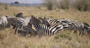 Zebras no Masai Mara Fotos de Stock