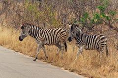 Zebras no parque nacional África do Sul de Kruger imagem de stock