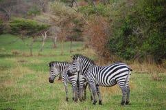 Zebras no parque nacional de Mburo do lago imagem de stock