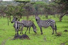 Zebras no parque nacional de Mburo do lago fotografia de stock royalty free