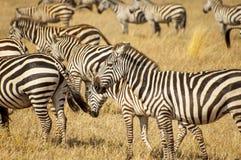 Zebras no parque nacional de Serengeti, Tanzânia imagem de stock royalty free