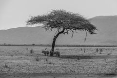 Zebras no parque nacional de Tsavo, Kenya Foto de Stock Royalty Free