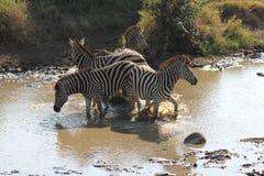 Zebras no rio Imagens de Stock