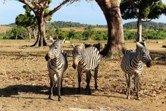 Zebras no savana Imagem de Stock