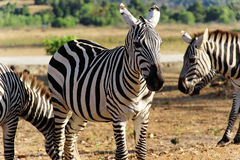 Zebras no savana Imagem de Stock Royalty Free