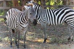 Zebras no savana Imagens de Stock Royalty Free