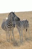 Zebras Nuzzling Imagem de Stock