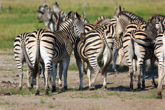 Zebras. In the Nxai Pan Nationalpark Royalty Free Stock Image
