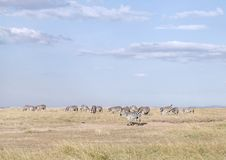 Zebras in Ol Pejeta Conservancy, Kenya Stock Images