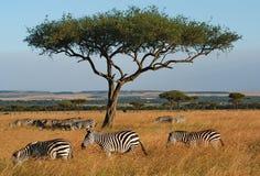 Zebras onder acacia. stock foto