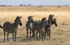 Zebras op Alarm Stock Afbeeldingen