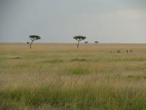 Zebras op de savanne Royalty-vrije Stock Afbeelding