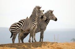 Zebras op een heuvel Stock Fotografie