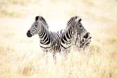 Zebras op gebied Stock Foto's