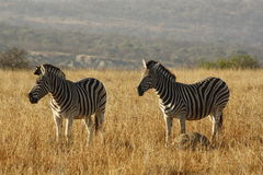 Zebra. S on a open plane Royalty Free Stock Images