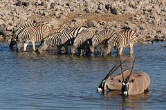 Zebras and Oryx drinking water, Okaukeujo waterhole Royalty Free Stock Photography