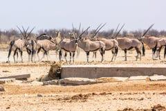 Zebras oryxs lion Royalty Free Stock Photo