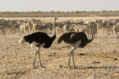 Zebras and Ostrich Stock Images