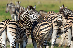 Zebras. Oxpecker on the back of a Zebra Stock Photos