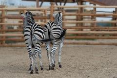 Zebras pair Stock Photography