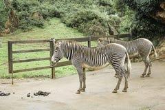 Zebras in park Royalty Free Stock Photos
