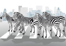 Zebras on pedestrian crossing Stock Images