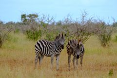 Zebras photographed in the bush at Kruger National Park, South Africa. Zebras photographed in the bush at Kruger National Park, Mpumalanga, South Africa stock photos