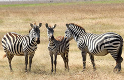 Zebras plagued by horseflies Stock Images
