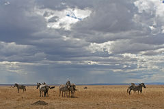 Zebras on Plains. Landscape view of Zebras standing on the open plains of Masai Mara, Kenya, awaiting the onset of rains Royalty Free Stock Photos
