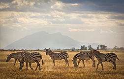 Zebras on the plains of Kenya Royalty Free Stock Photo