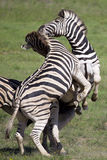 Zebras playing Royalty Free Stock Photos