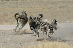 Zebras playing. Couple of zebras playing in Etosha National Park, Namibia Royalty Free Stock Images