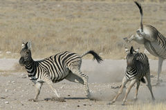 Zebras playing. Couple of zebras playing in Etosha National Park, Namibia Stock Photography