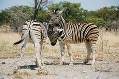Zebras playing Royalty Free Stock Photo