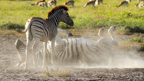Zebras playing in the dust Stock Photography