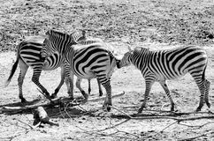 Zebras playing stock images