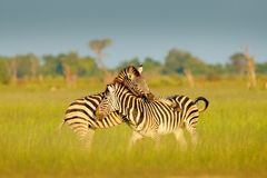 Zebras playing in the savannah. Two zebras in the green grass, wet season, Okavango delta, Moremi, Botswana. Wildlife royalty free stock image