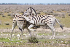 Zebras playing Royalty Free Stock Images