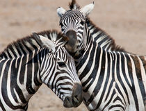 Zebras playing Royalty Free Stock Image