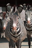 Zebras Posing Royalty Free Stock Photography