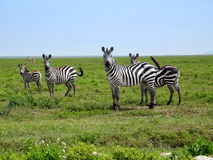 Zebras posing. For a picture Royalty Free Stock Photos