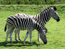 Zebras in profile one bending Stock Photos
