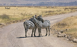 Zebras in protection mode. Taken in Tanzania, east Africa Royalty Free Stock Photos