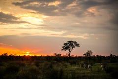 Zebras que alimentam em uma reserva do jogo com a árvore da silhueta no por do sol imagem de stock