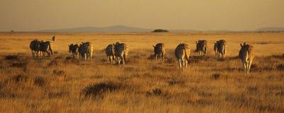 Zebras que andam da parte traseira Fotografia de Stock Royalty Free
