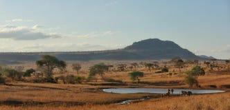 Zebras que bebem na associação Tsavo NP ocidental Kenya África imagem de stock