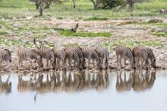 Zebras que bebem na linha Imagens de Stock Royalty Free