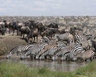 Zebras que bebem no parque nacional de Serengeti Imagem de Stock